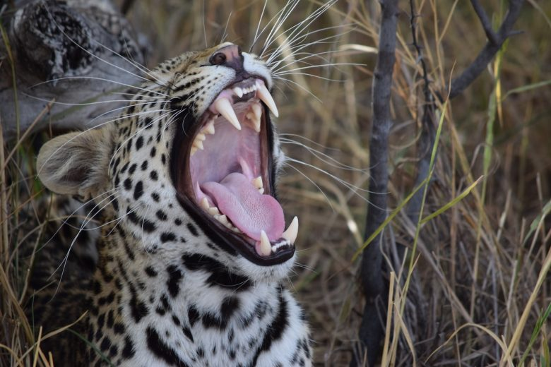 leopard safari