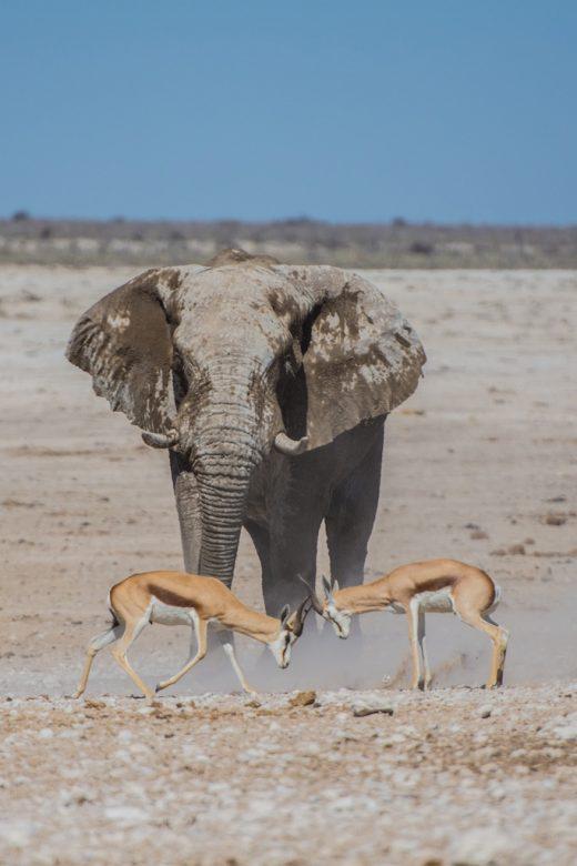 elephant springboks