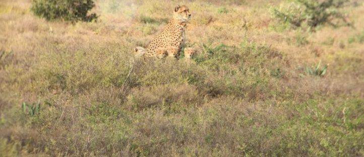 cheetah tracking