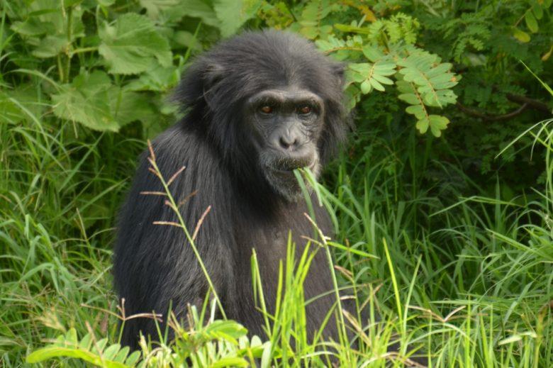 Kenya Gorilla