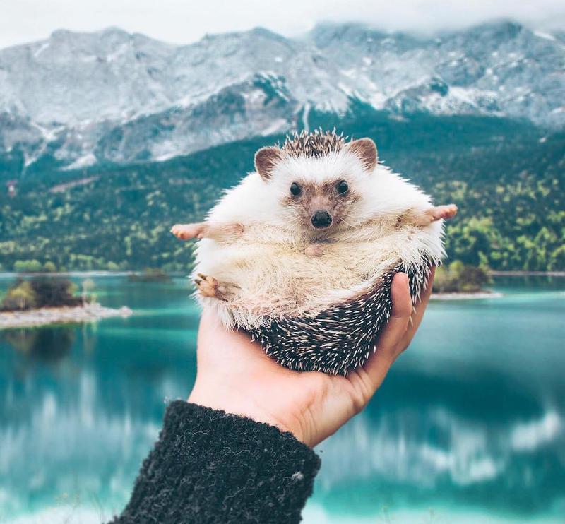 travel hedgehog