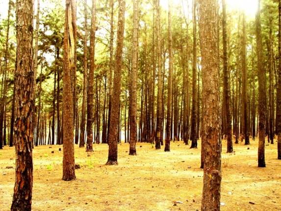 Ngwo Pine