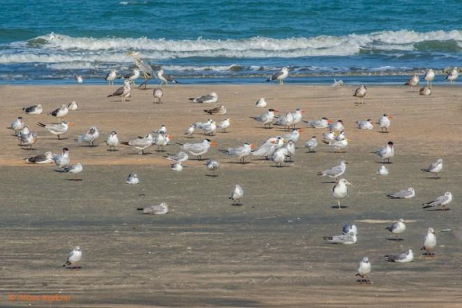 Seabird Roost at Tanji Beach, Gambia