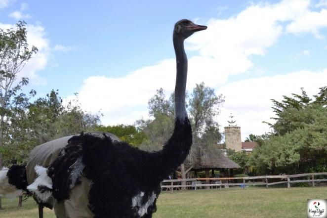 Maasai-Ostrich-Farm-780x520