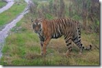 tiger in rajiv gandhi wild life sanctuary