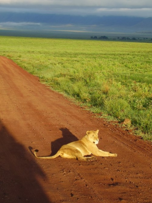 leonessa-ngorongoro