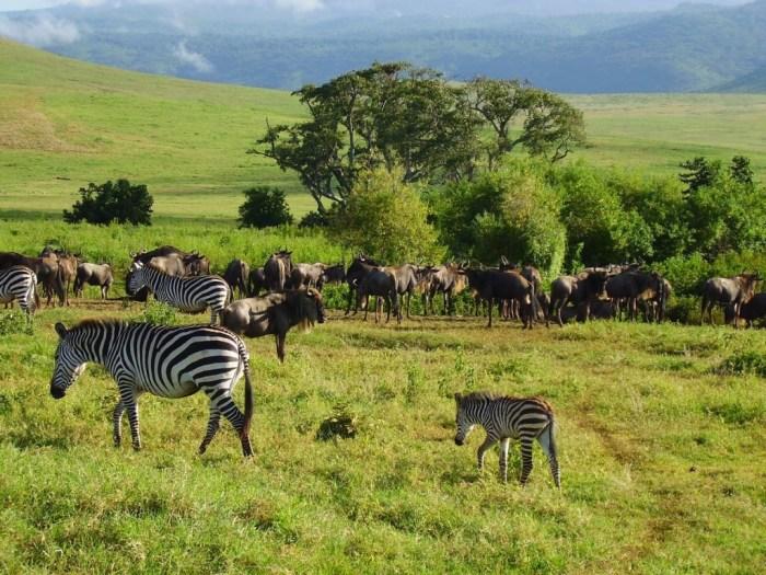 Zebre e gnu convivono in sintonia