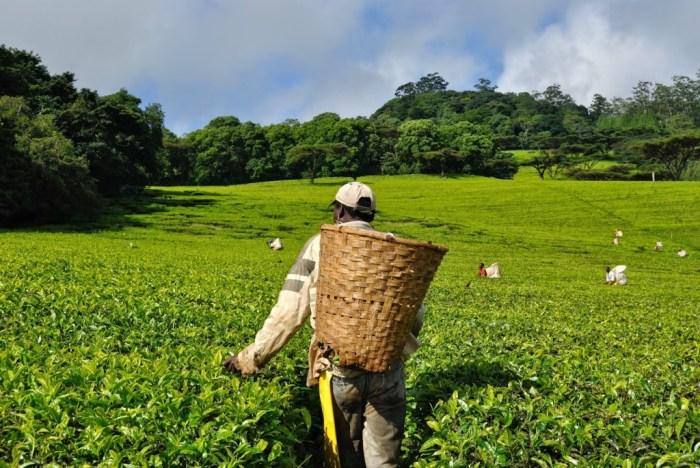Al lavoro con i raccoglitori del tè