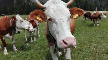 mucche-marmolada