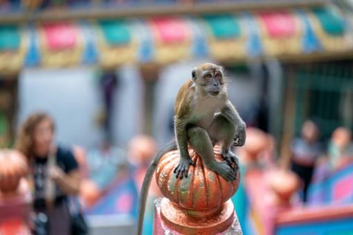 Beware Batu Cave Monkeys! Helpful Tips For Visitors