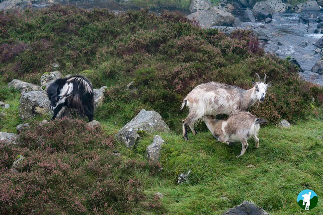 feeding mountain goats grey mare's tail