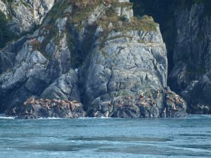 Sea Lions at Indian Rock