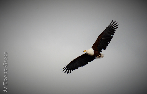 An African fish-eagle soars his own version of freedom.