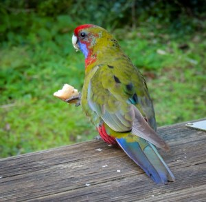 A very colorful parrot in Wilsons Promontory, Australia.