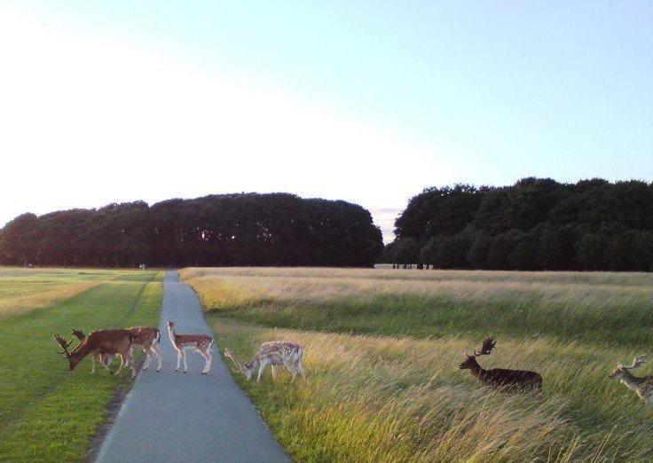 Deers in Phoenix Park