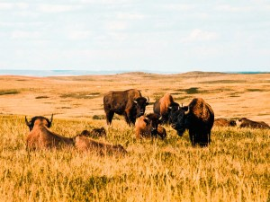 National Buffalo Museum   North Dakota Travel Guide