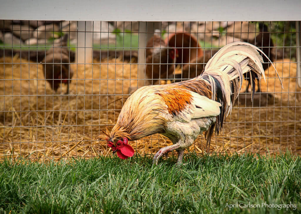 Gardens for Connoisseurs Tour 2017: Rooster