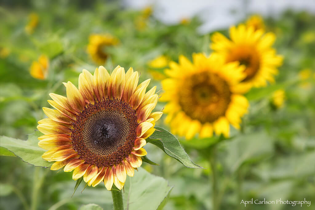 Sunflower Festival at Copper Creek Farm: 3 sunflowers in a row