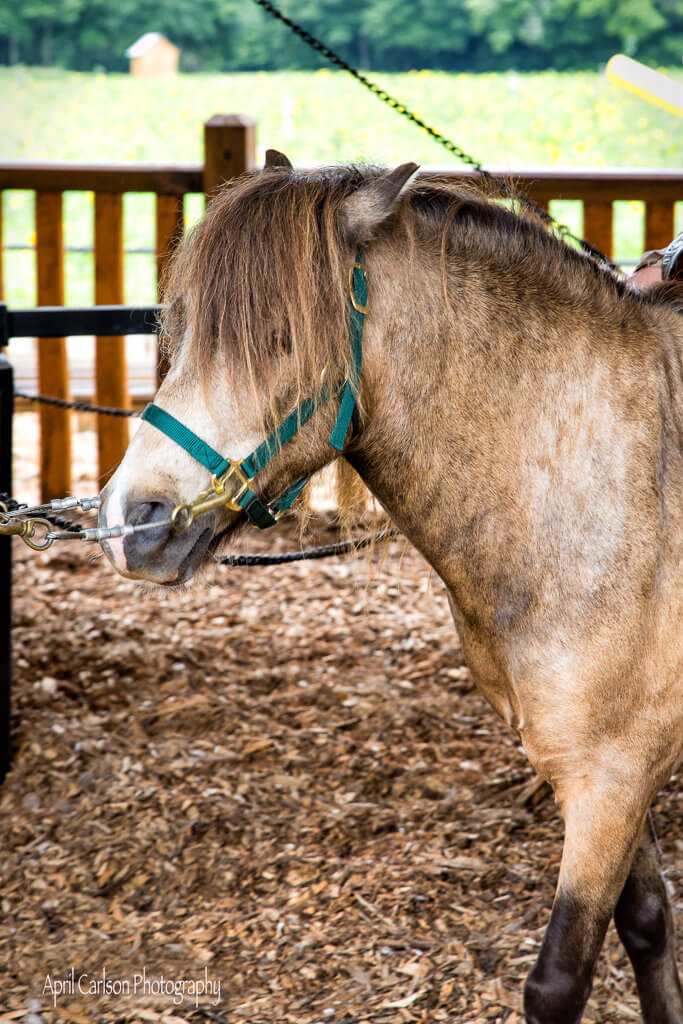 Sunflower Festival at Copper Creek Farm: Pony Rides