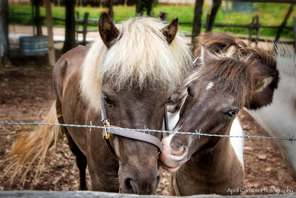Sunflower Festival at Copper Creek Farm: Ponies