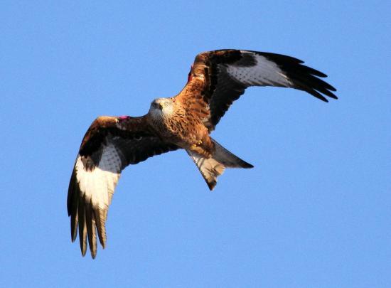 Red Kites – Stirlingshire