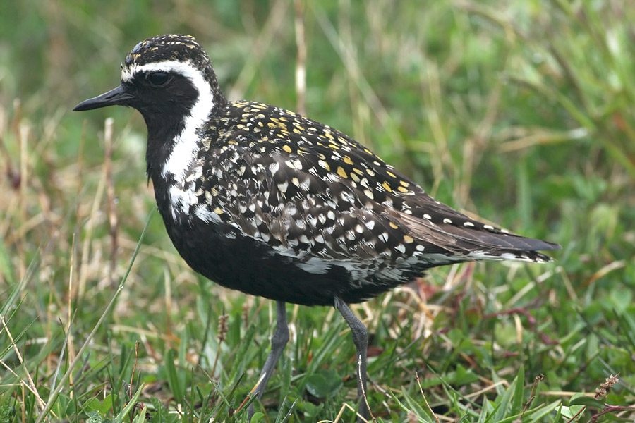 Avalon Peninsula – Newfoundland – Bird Watching