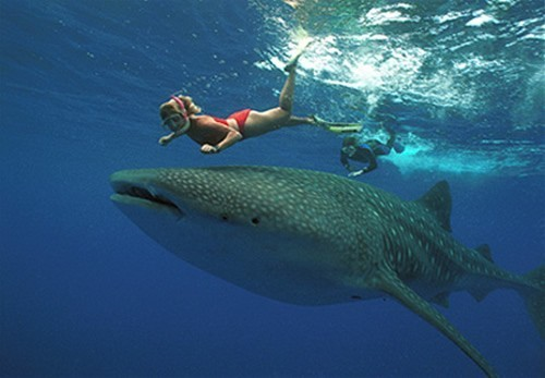Whale Sharks In Mexico 2