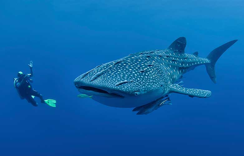 Whale Sharks In Mexico 3