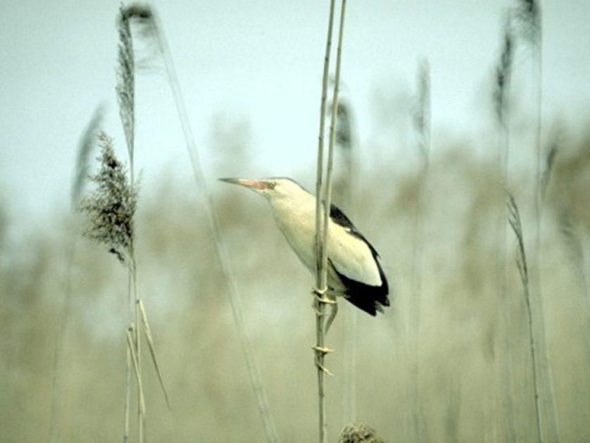 Birdwatching at Pian di Spagna, Italy