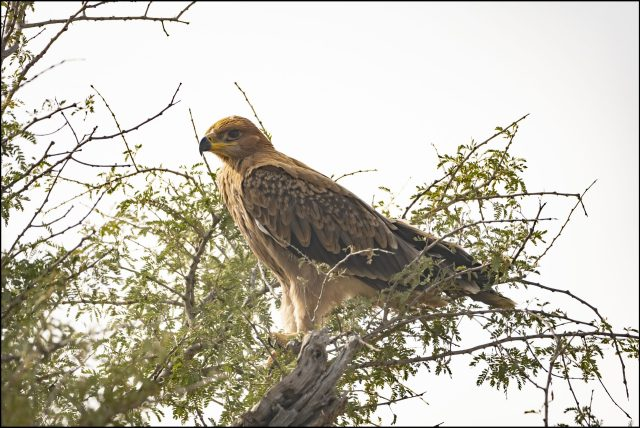 Eagles of India, Tawny eagle (Aquila rapax), Tal Chappar Wildlife Sanctuary, Rajasthan