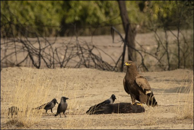 Eagles of India, Steppe eagle (Aquila nipalensis), Tal Chappar Wildlife Sanctuary, Rajasthan
