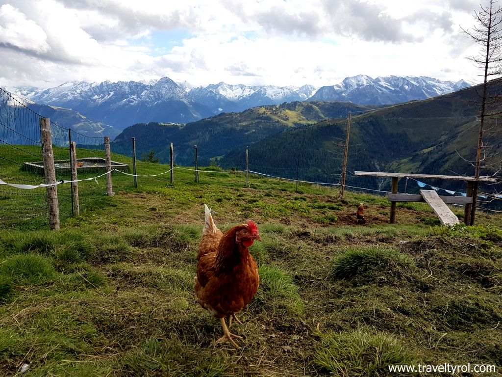 Best view for a chicken coup on the Zillertal High Alpine Road.