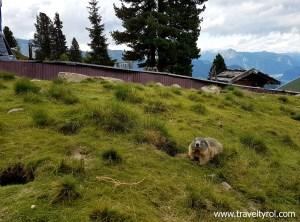 Alpine marmot or murmeltier at Murmelland on the Zillertal High Alpine Road.