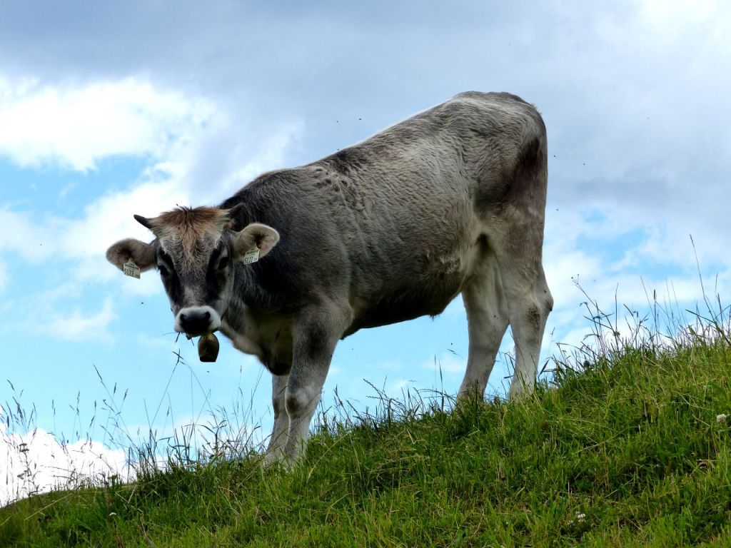 Alpine cow in Austria. © Linda de Beer / Travel Tyrol