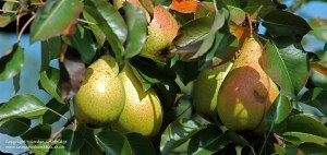 Wachau orchards
