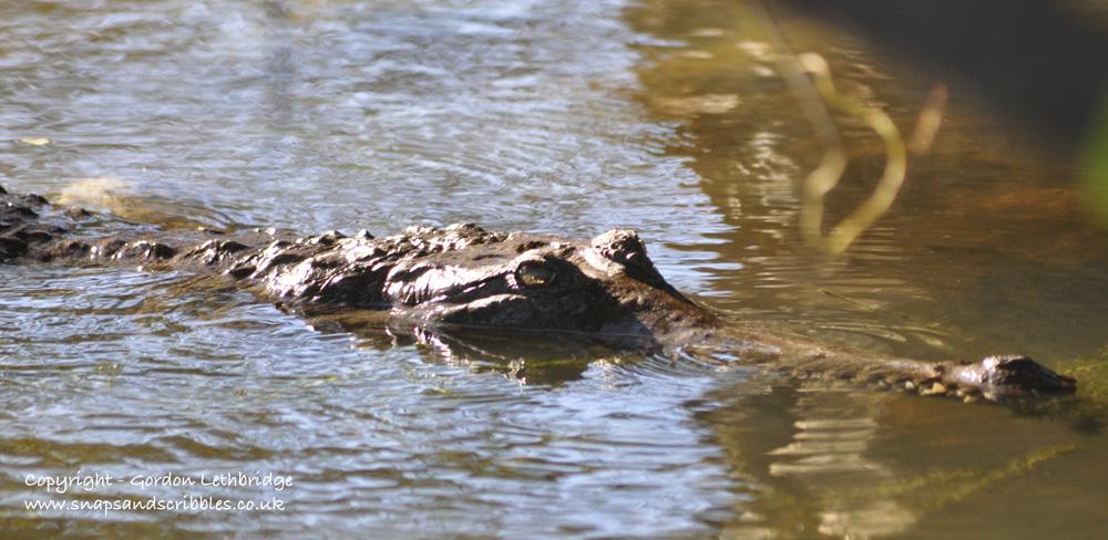Crocodile ambush