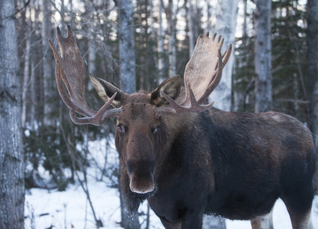 Not a creature to mess with. Snowmobile versus moose: there is only one outcome