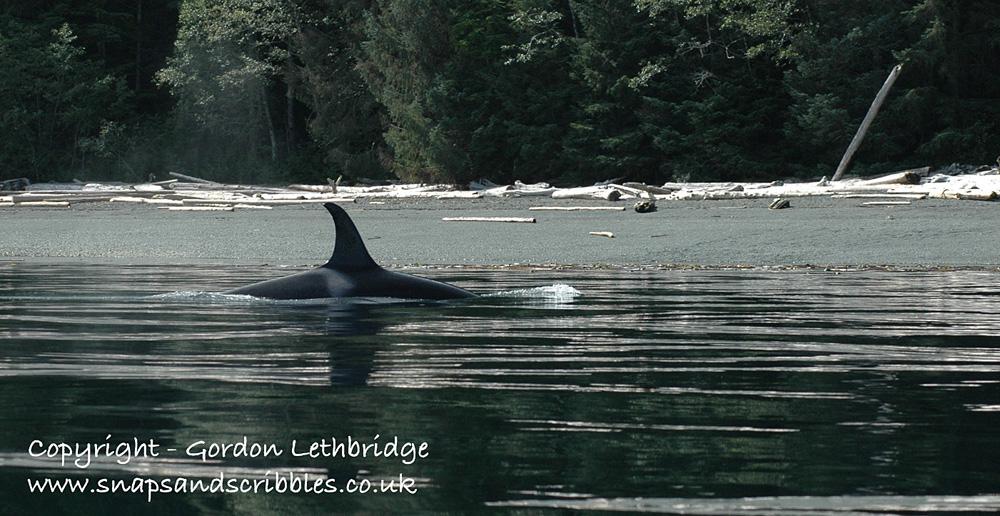 orca 04