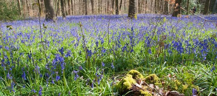 Hampshire Unpacked: Bluebell Woods