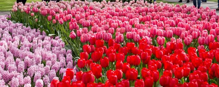 Romancing the tulip in the gardens at Keukenhof