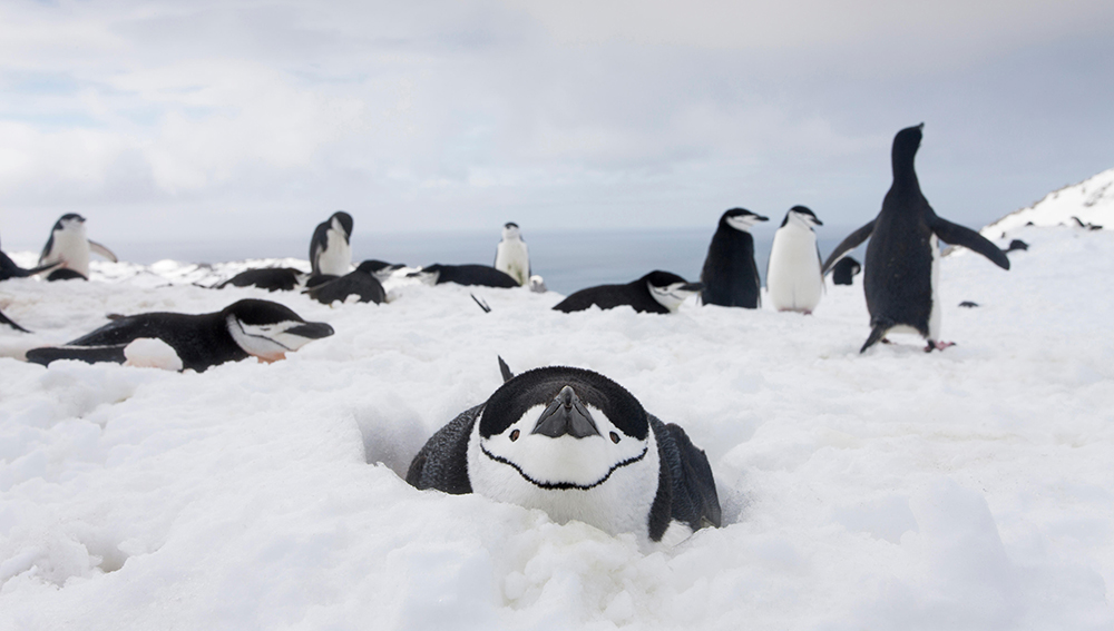 The Chinstrap Penguins are almost cartoon-like www.alamy.com