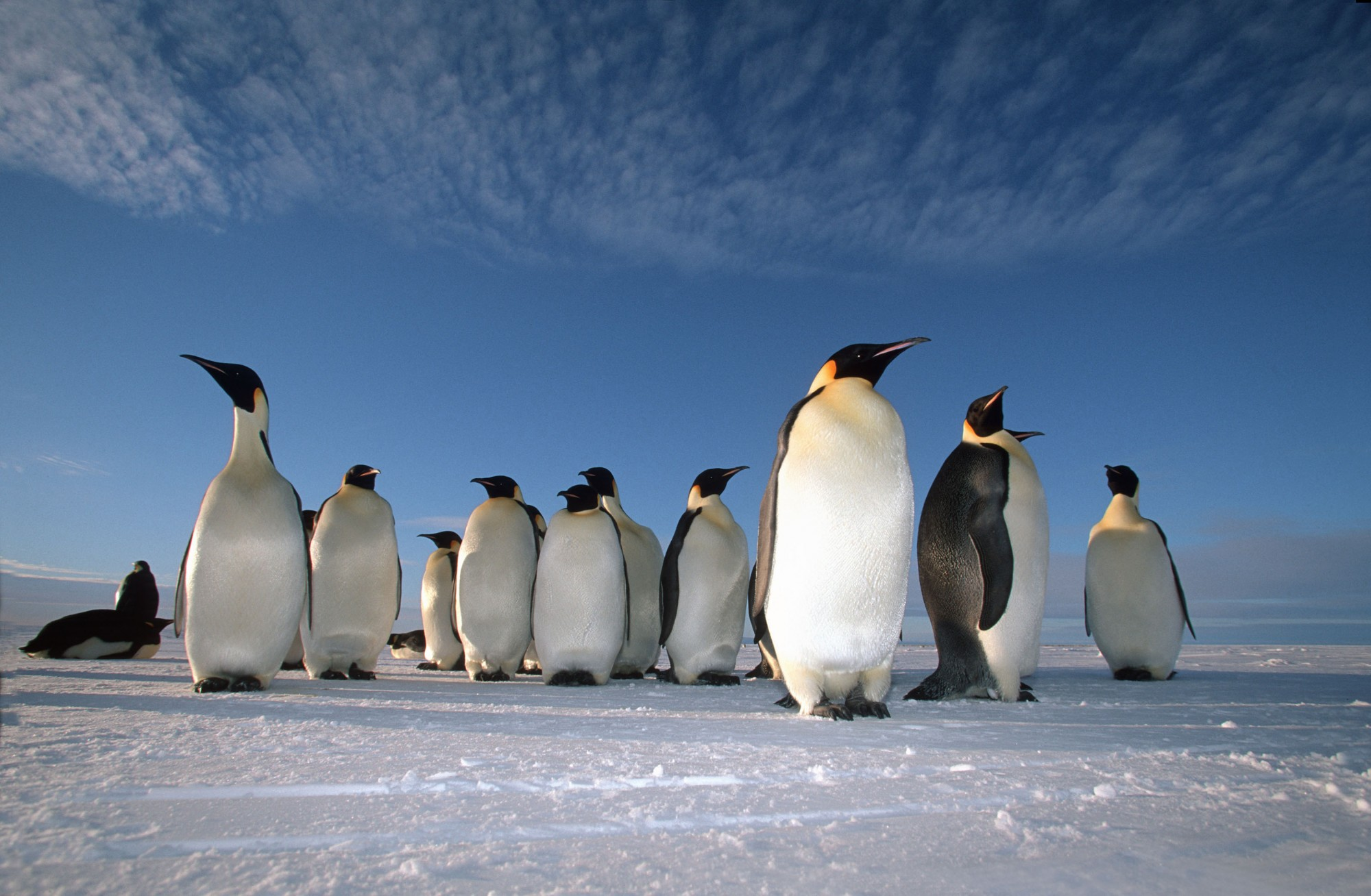 Examples of natural selection among the emperor penguins