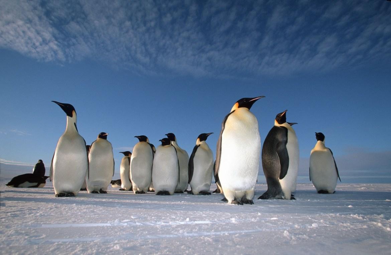 Emperor Penguins © Natural World Safaris