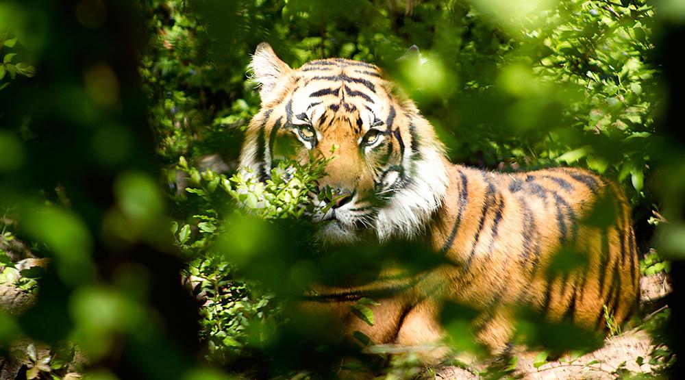 Go on a tiger spotting safari