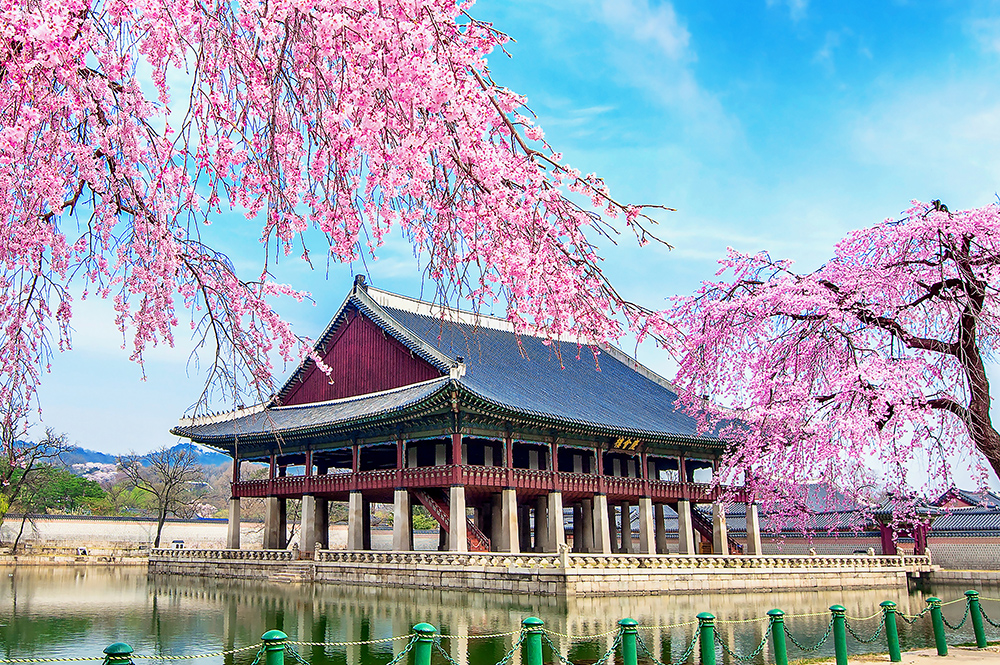 Gyeongbokgung Palace with cherry blossom in spring, Seoul in Korea.