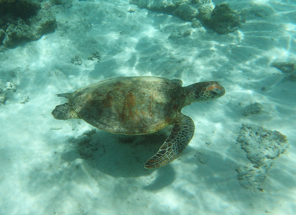 Turtle on the Ningaloo Reef