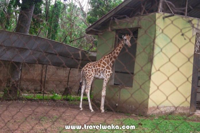 giraffe ibadan zoo