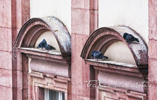 Pigeons of Heidelberg, Germany