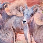 Desert Bighorn Sheep in the Valley of Fire – Nevada State Park