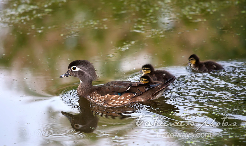 Wild duck mother in a pond